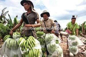 What's-Behind-Laos'-China-Banana-Ban