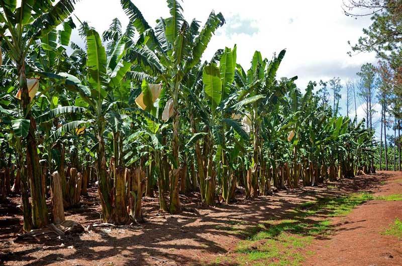 Banana-Growing-Production